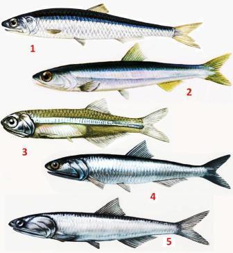 Tipus de peixos que es poden trobar al mercat sota el nom d'anxova